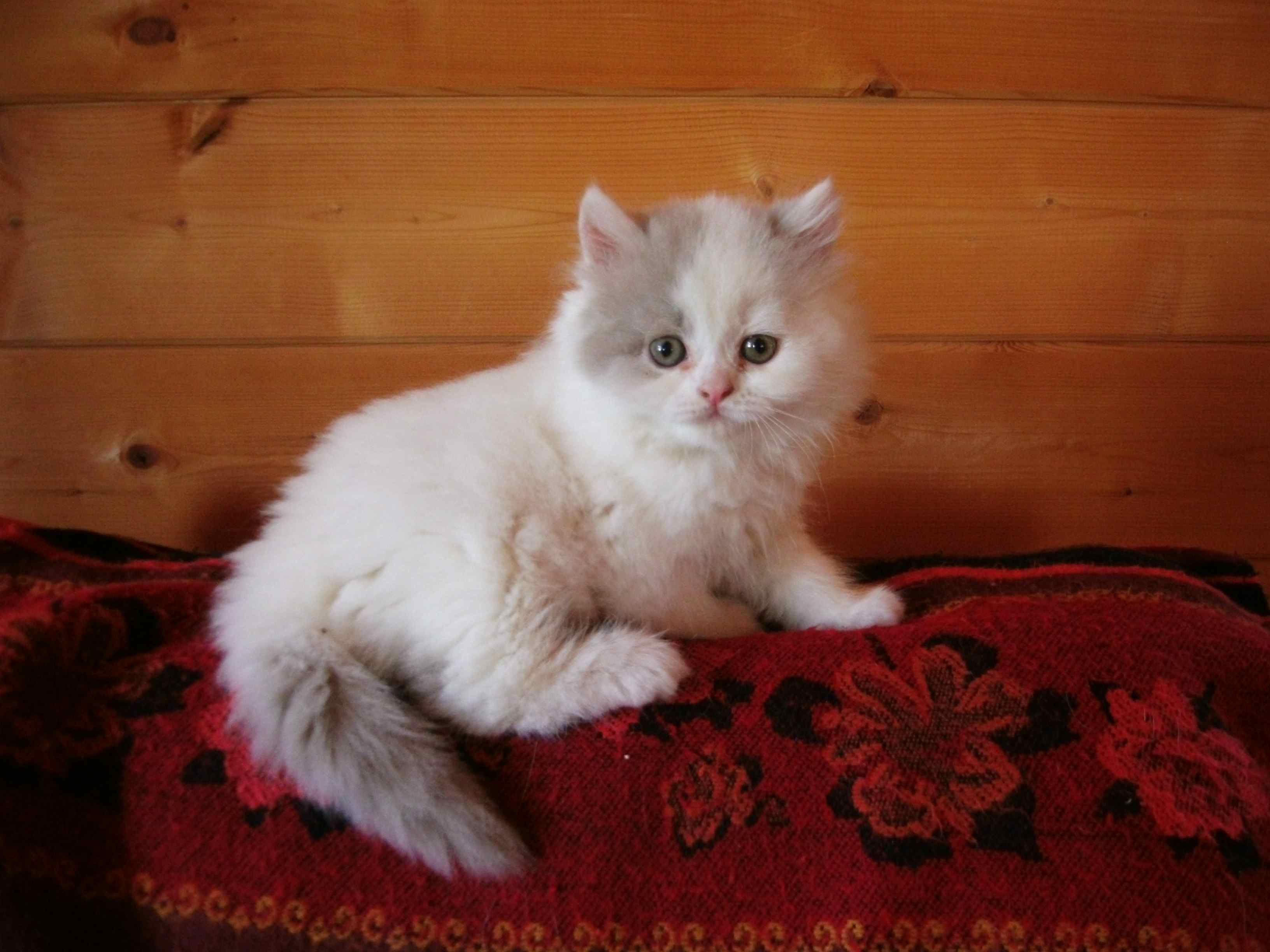Top Ten Cute Pet Cats for Sale