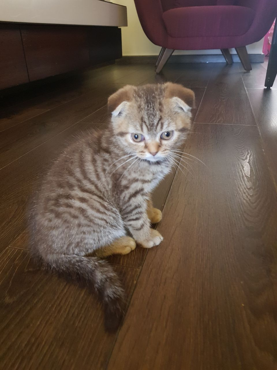 Cat in Lebanon: My Name is Boots, the cute tiger scottish fold