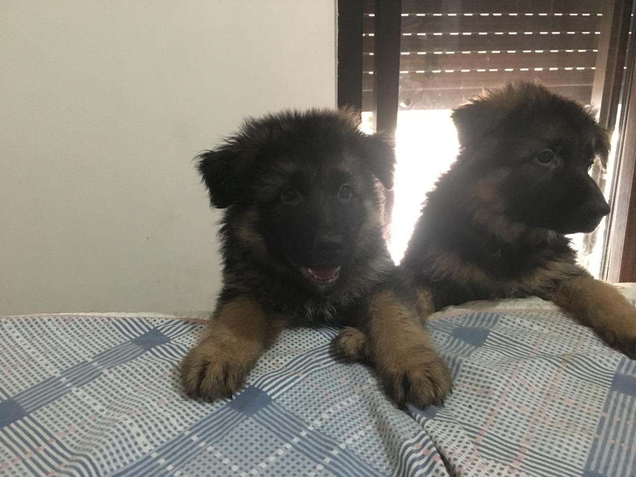 Dog in Lebanon: German shepherd puppies for sale