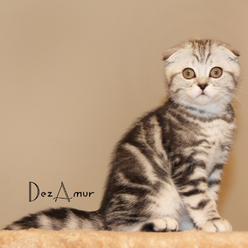Cat in Lebanon: Scottish Fold Purebred