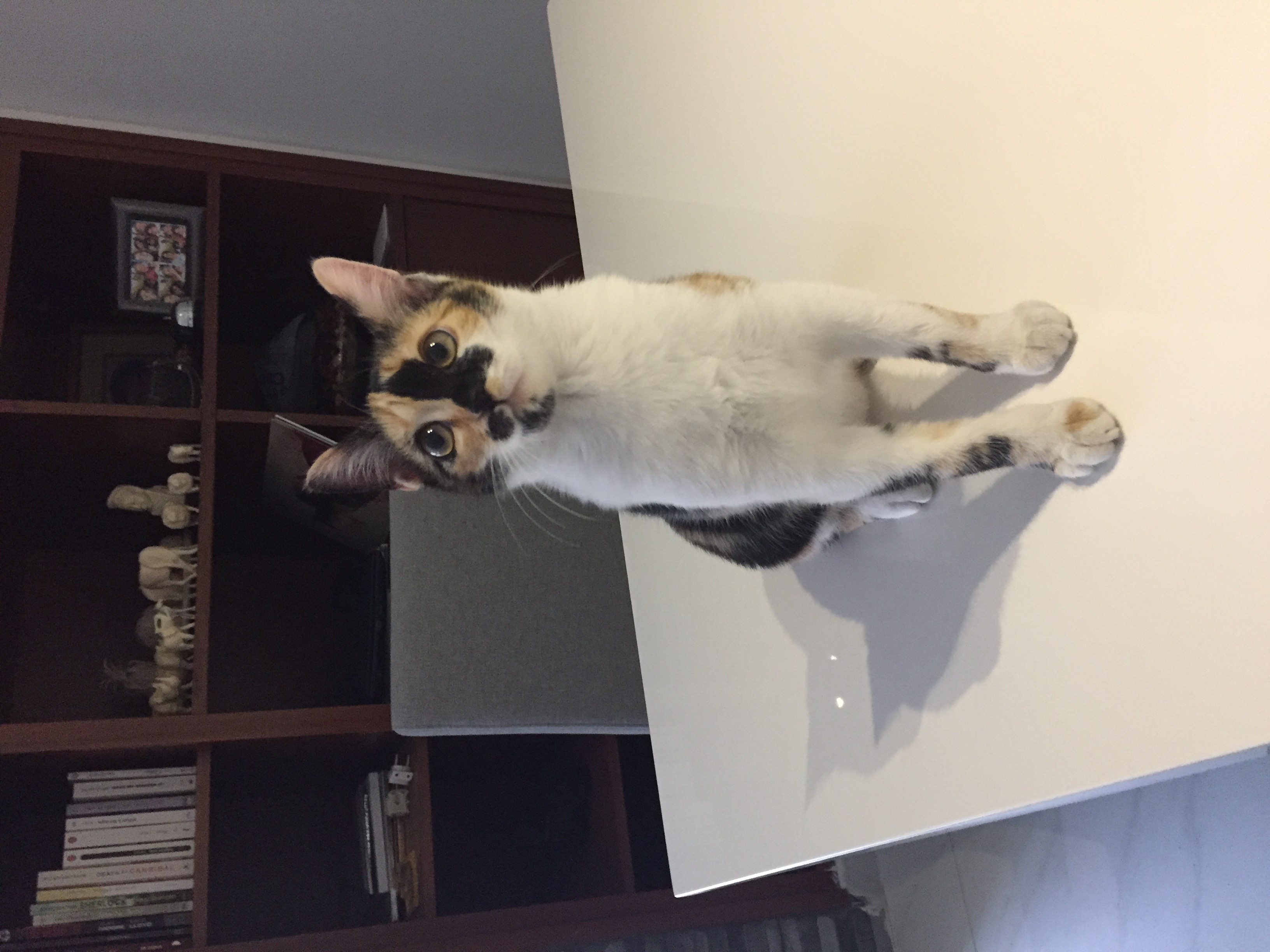 Cat in Lebanon: Shelby is looking for a nice family