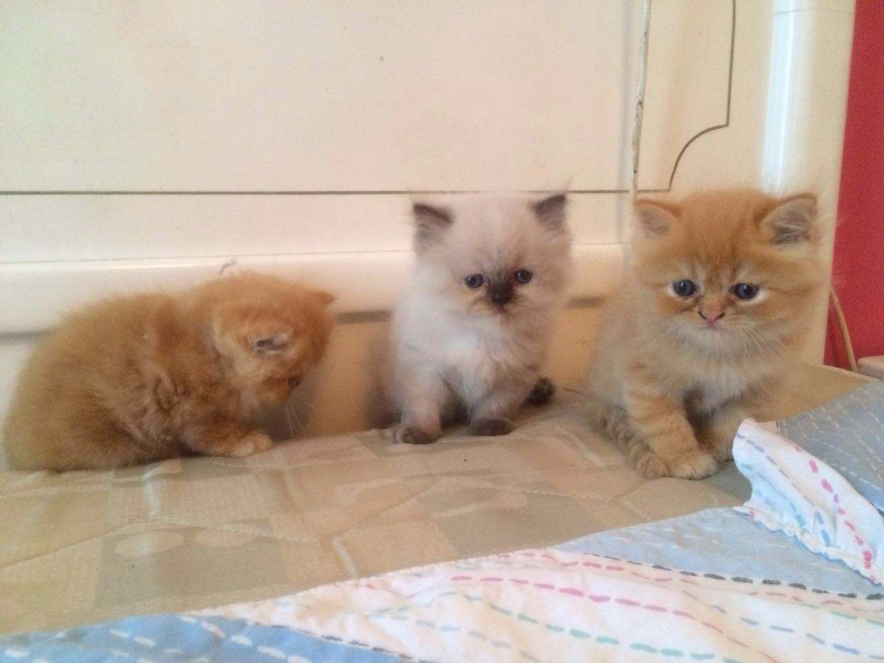 Pet related post in Lebanon: 3 kittens for sale..